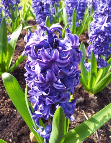 Hyacinth- Apollo's love interest